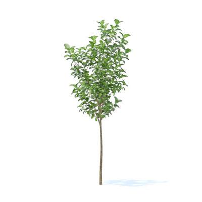 آبجکت درخت میوه